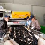 Traubenverarbeitung
